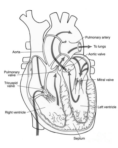 Aortic Valve Art Page 3 Of 4