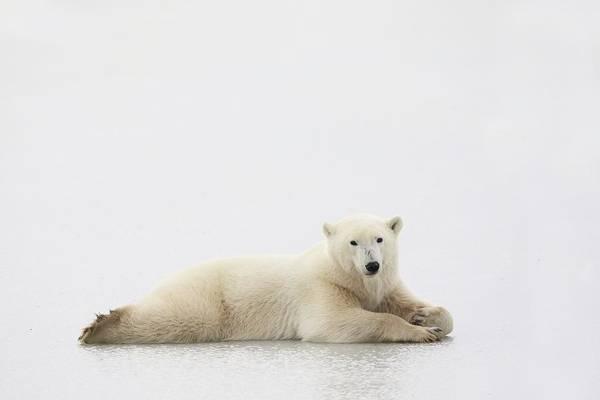 Christmas Photograph - Polar Bear by Richard Wear
