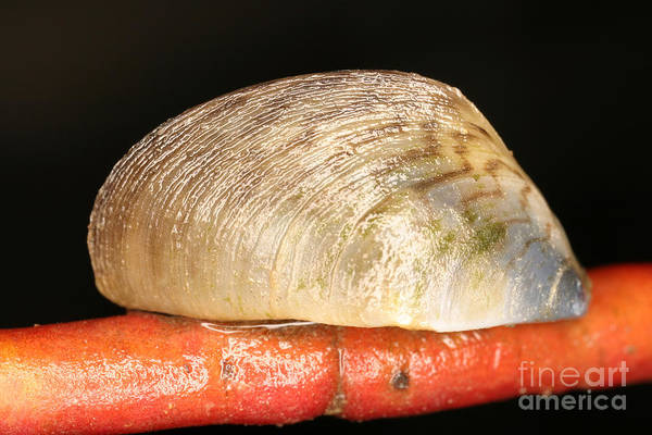 Photograph - Zebra Mussel by Ted Kinsman