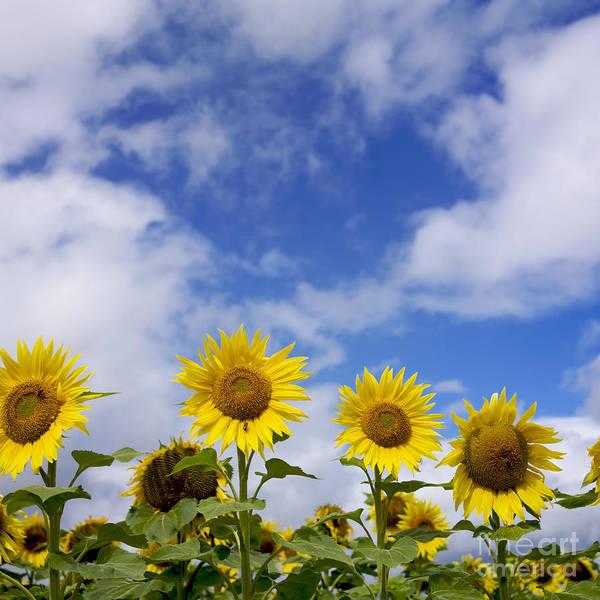 Cloud Type Wall Art - Photograph - Field Of Sunflowers by Bernard Jaubert