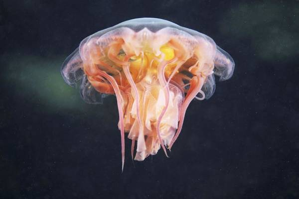 Lion's Mane Jellyfish Photograph - Lion's Mane Jellyfish by Alexander Semenov