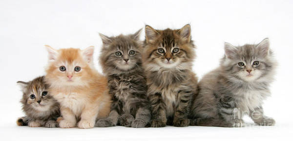 Wall Art - Photograph - Maine Coon Kittens by Mark Taylor