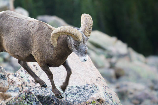 Wall Art - Photograph - A Bighorn Sheep In The Alpine Tundra Of Colorado Rockies by Ellie Teramoto