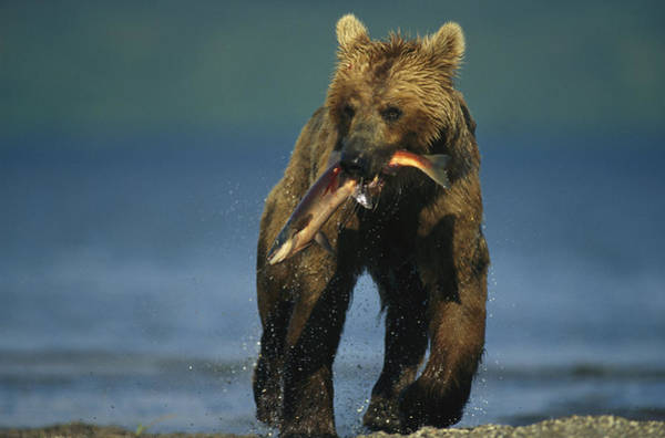 Kamchatka Photograph - A Brown Bear Eating A Freshly Caught by Klaus Nigge