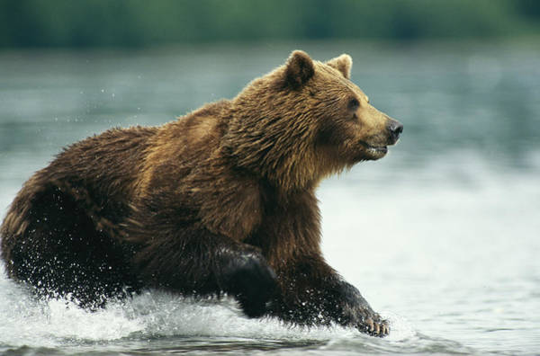 Kamchatka Photograph - A Brown Bear Rushing Through Water by Klaus Nigge