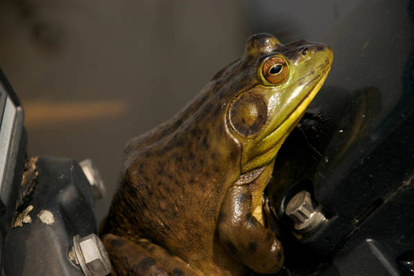 Sitting Bull Photograph - A Bullfrog Sits On A Boat Motor by Heather Perry