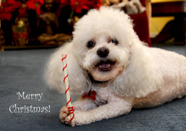 Photograph - A Candycane For Puppy by Diana Haronis