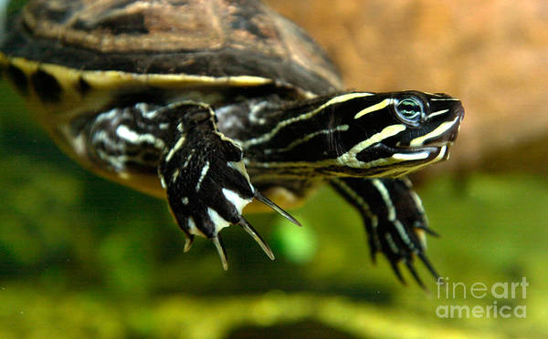 Yarmouth Photograph - A Chicken Turtle In Aquarium Tank On Cape Cod by Matt Suess