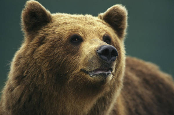 Kamchatka Photograph - A Close View Of The Face Of A Brown by Klaus Nigge