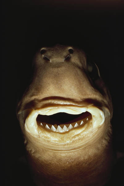 Hawaiian Fish Photograph - A Close View Of The Mouth Of A Specimen by Bill Curtsinger