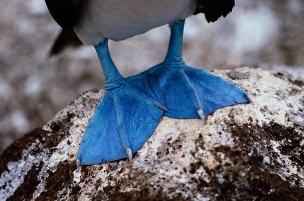 Blue Footed Booby Wall Art - Photograph - A Close View Of The Webbed Feet by Tim Laman