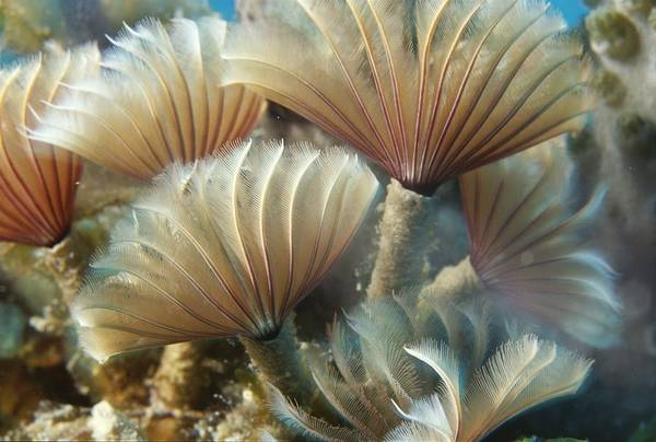 Trapping Photograph - A Close View Of Tubeworms by Raul Touzon