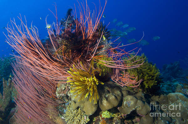 Photograph - A Colony Of Red Whip Fan Corals by Steve Jones