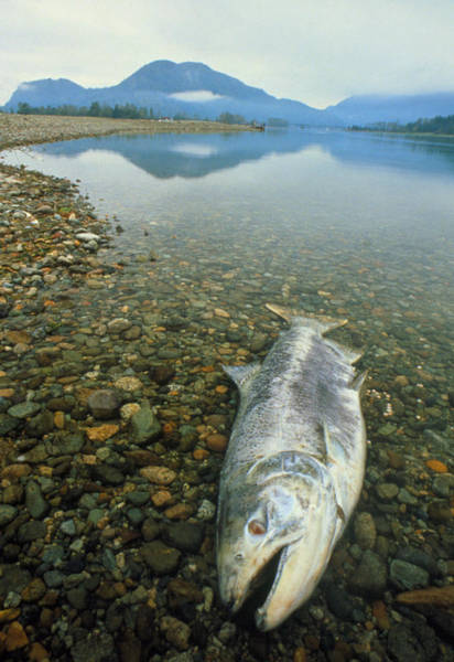 Chinook Salmon Photograph - A Dead Chinook Salmon Seen Shortly After Spawning by David Nunuk