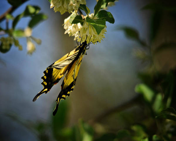 Swallowtail Photograph - A Feast For The Butterfly by Susan Capuano