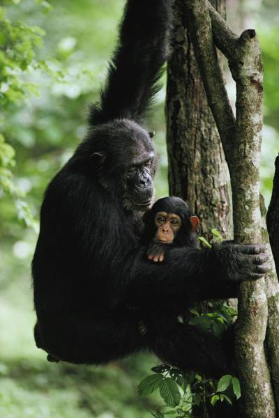 Gombe National Park Wall Art - Photograph - A Female Chimpanzee Climbs A Tree by Michael Nichols