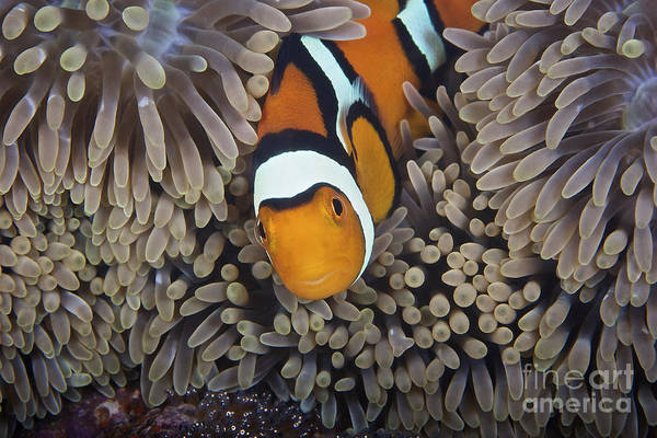 Pomacentridae Photograph - A Female Clownfish Looks After Her Eggs by Terry Moore