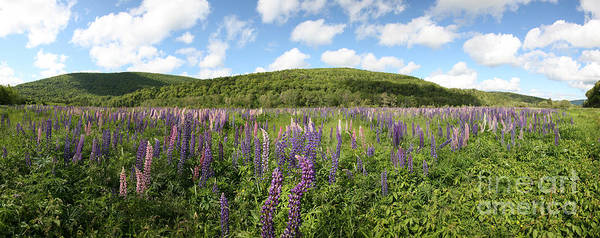 Cabot Trail Photograph - A Field Of Lupines by Ted Kinsman