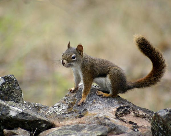 Photograph - A Fine Squirrel by Ben Upham III