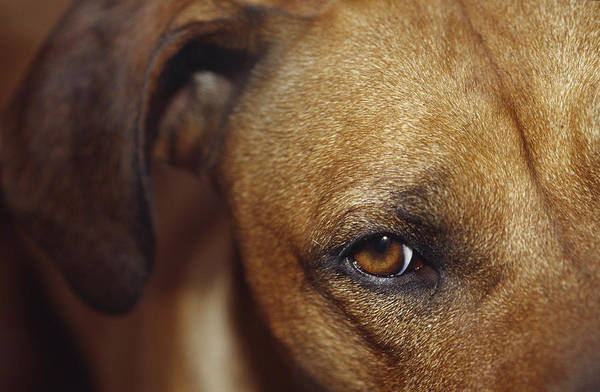 Dog Watch Photograph - A Floopy Ear And Watchful Stare by Jason Edwards