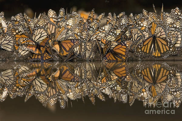 Photograph - A Flutter Of Monarchs Drinking  by Ingo Arndt