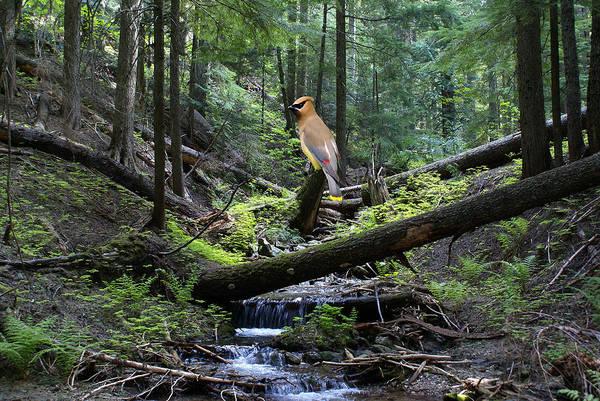 Waxwing Digital Art - A Giant Cedar Waxwing On Mt Spokane by Ben Upham III