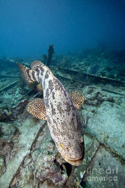 Goliath Photograph - A Goliath Grouper Effortlessly Floats by Terry Moore