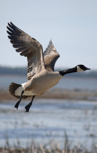 Horicon Marsh Photograph - A Goose Taking Off In Flight by Janice Adomeit