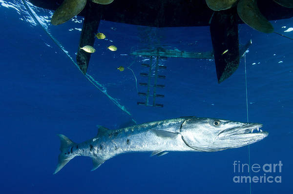 Kimbe Bay Wall Art - Photograph - A Great Barracuda Beneath A Boat, Kimbe by Steve Jones