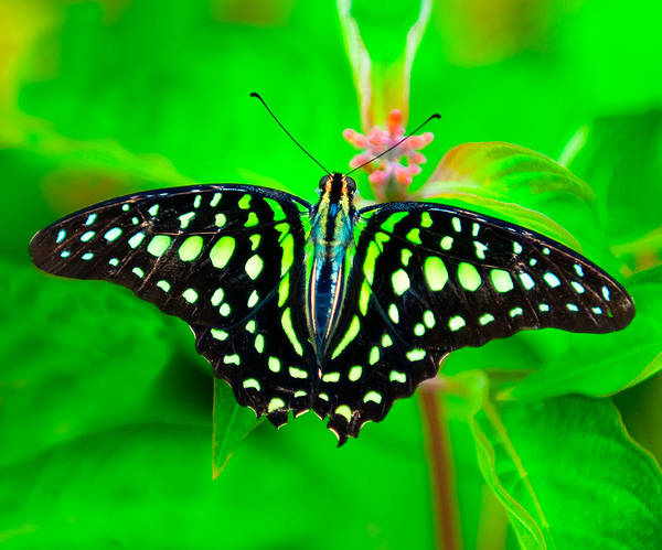 Photograph - A Green Butterfly by Dennis Dame