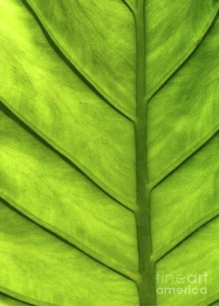 Photograph - A Green Leaf by Sabrina L Ryan