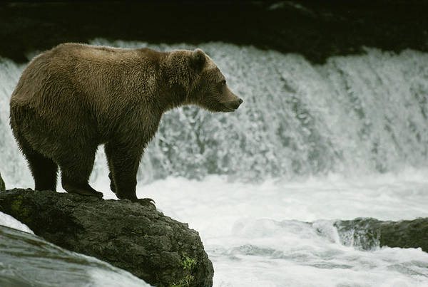 Trapping Photograph - A Grizzly Bear Waits Patiently by Tom Murphy