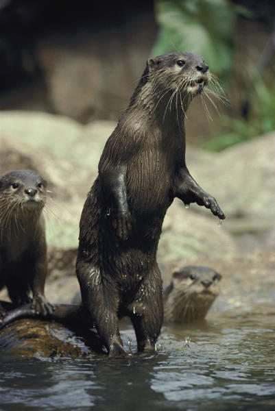 Aonyx Photograph - A Group Of Asian Small-clawed Otters by Jason Edwards