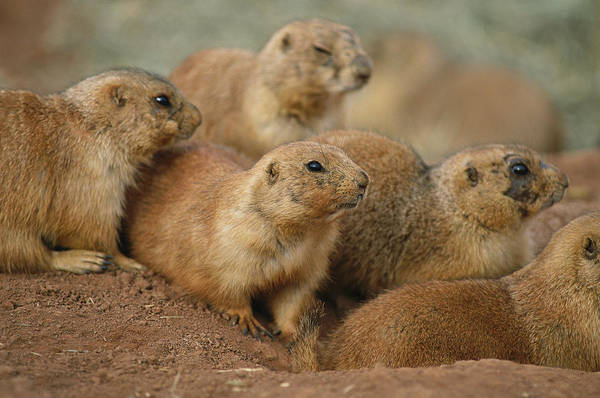 North Dakota Badlands Wall Art - Photograph - A Group Of Prairie Dogs Cluster by Annie Griffiths