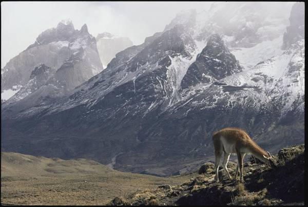 El Toro Photograph - A Guanaco Lama Guanacoegrazing by Jason Edwards