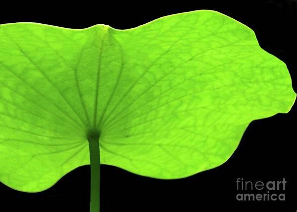 Photograph - A Huge Green Lotus Leaf by Sabrina L Ryan
