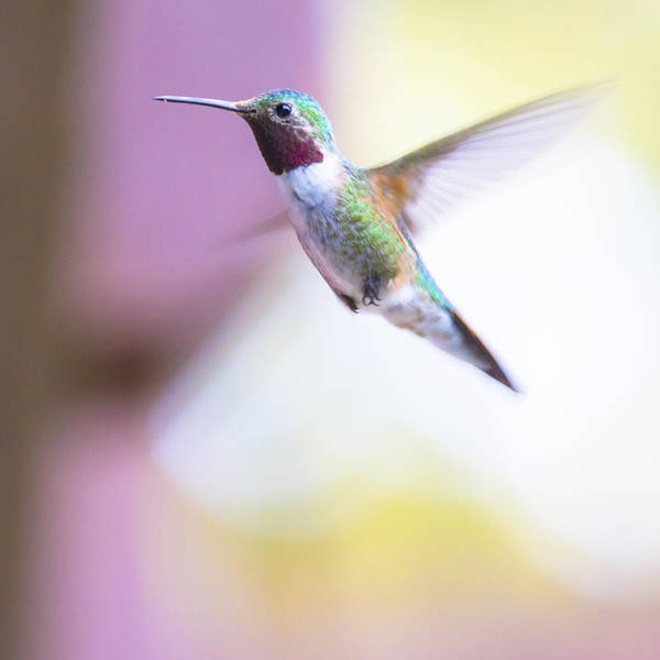 Wall Art - Photograph - A Humming Bird In The Rocky Mountains by Ellie Teramoto