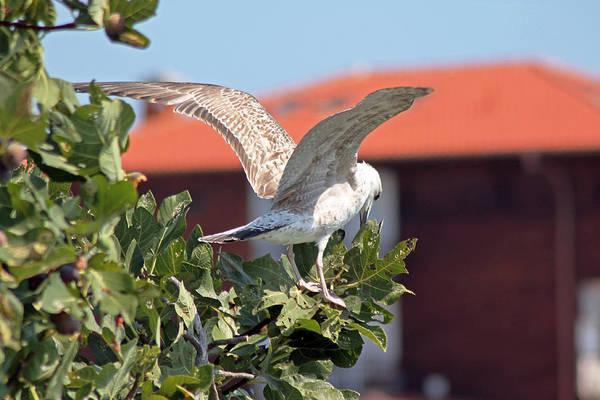 Photograph - A Juvenile Herring Gull by Tony Murtagh