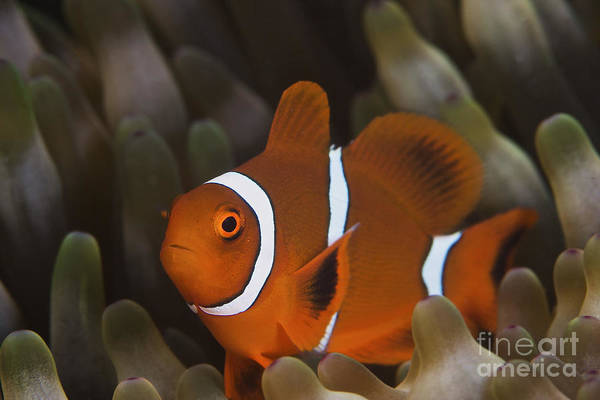 Pomacentridae Photograph - A Juvenile Spine Cheek Clownfish by Terry Moore