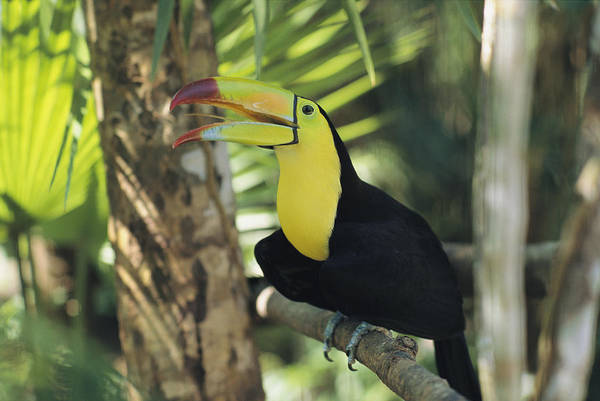 Keel-billed Toucan Photograph - A Keel-billed Toucan Sits In A Tree by Ed George