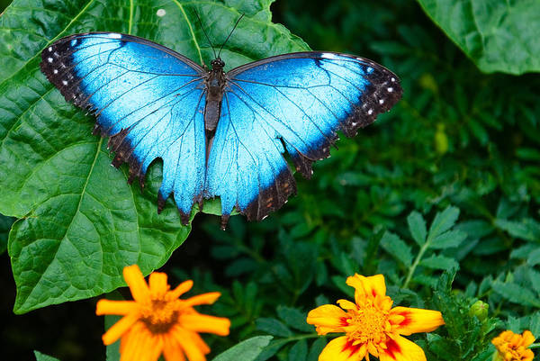 Photograph - A Large Blue Butterfly by Dennis Dame