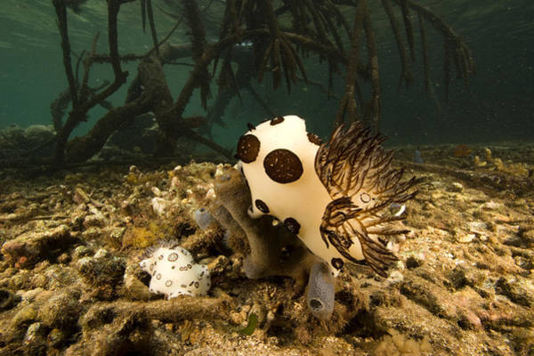 Wall Art - Photograph - A Large Nudibranch Feeds On A Sponge by Tim Laman