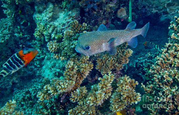 Balloonfish Photograph - A Large Porcupinefish Meets by Michael Wood