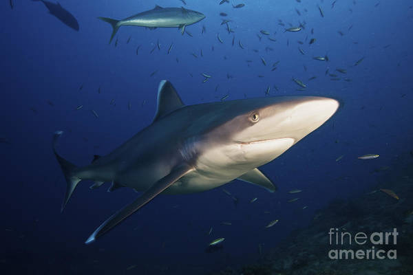 Carcharhinidae Photograph - A Large Silvertip Shark, Fiji by Terry Moore