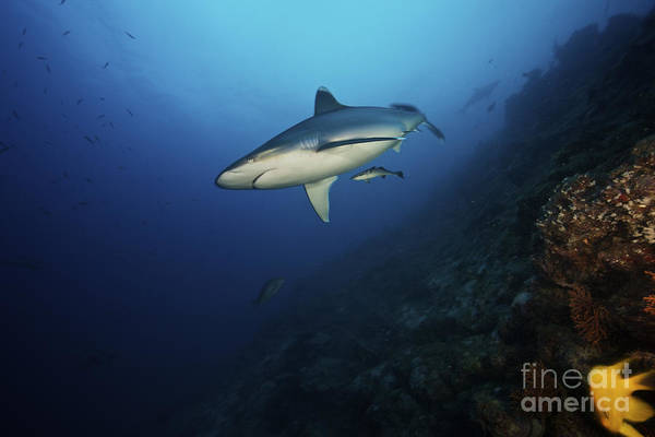 Carcharhinidae Photograph - A Large Silvertip Shark On A Deep Reef by Terry Moore