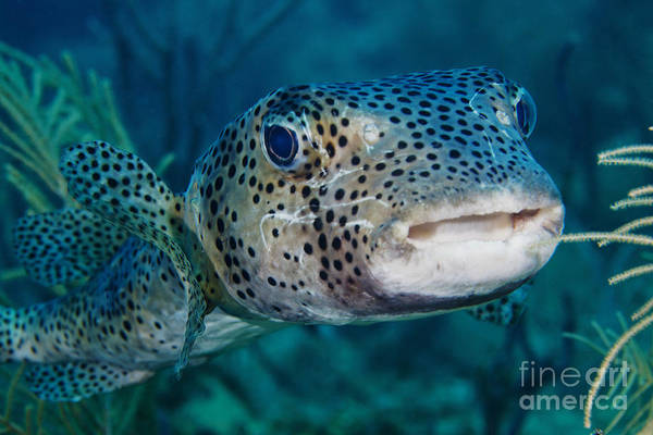 Balloonfish Photograph - A Large Spotted Pufferfish by Terry Moore