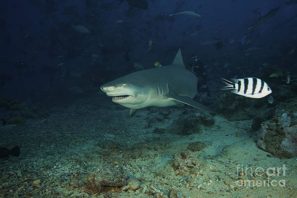 Photograph - A Lemon Shark Gulps Down A Large Tuna by Terry Moore
