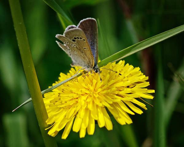 Moth Photograph - A Little Blue by Susan Capuano