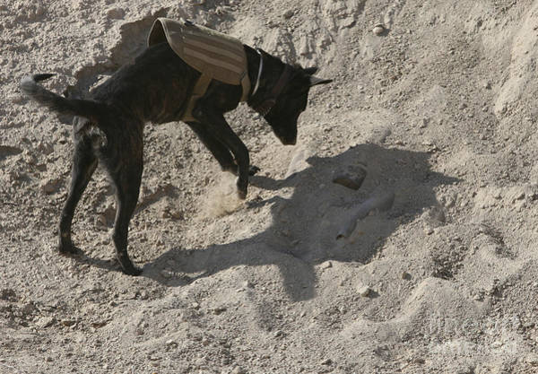 Photograph - A Military Working Dog Searches An Area by Stocktrek Images
