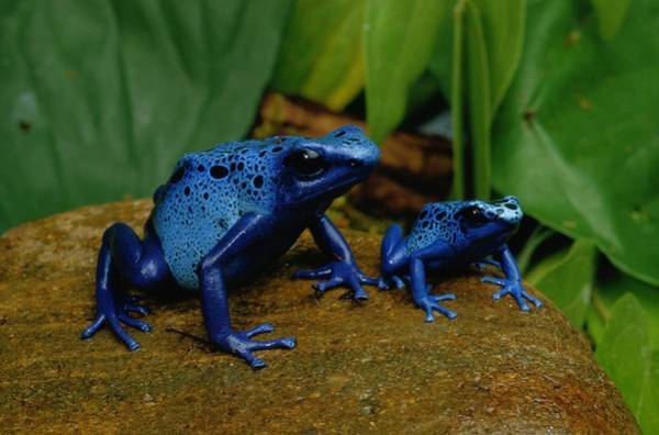 National Aquarium Photograph - A Mother Blue Poison Dart Frog by George Grall